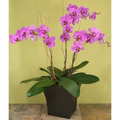 """Magic Purple"" Orchid"